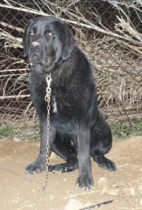 Jove exemplar de Mastí de l'Albera de color negre Requesens