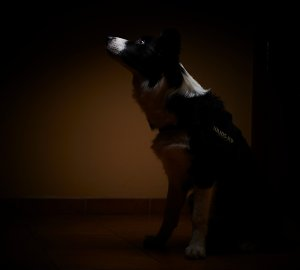 Mac Border Collie
