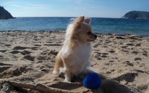 Lia chihuahua amb la pilota