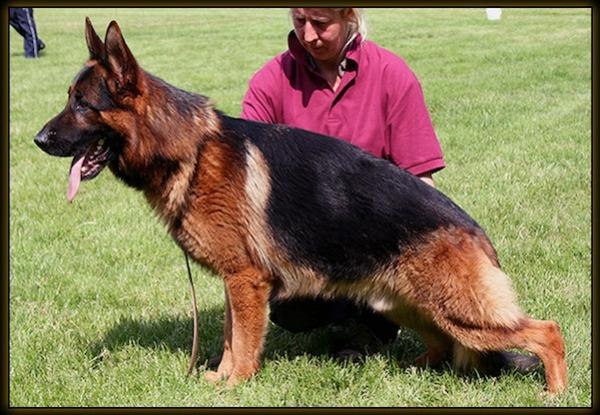 """Un gos típic de bellesa """"Jagger"""" de l'afix Herr Kan"""