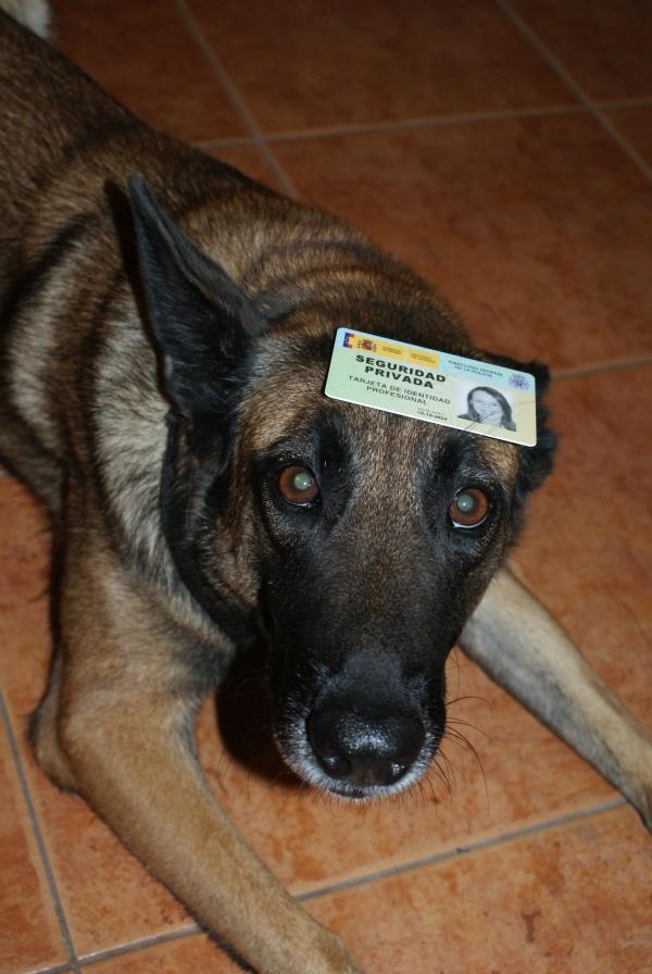 La Cendra: la nostra gossa detectora més veterana i l'últim carnet que m'ha arribat!
