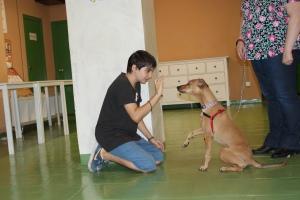 La Toffee és una gossa adoptada amb greus problemes de reactivitat cap als altres gossos però va acabar el curs focalitzada en el seu propietari i fent diverses habilitats!