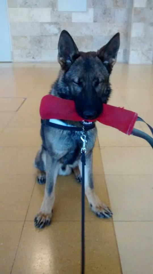 En Connor, futur gos detector, gaudint del seu mossegador en el seu primer entrenament en un aeroport