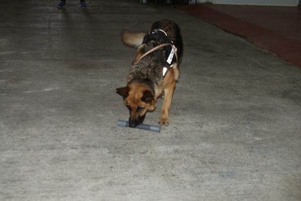 La Popi, futura gossa detectora de morrut de les palmeres, familiaritzant-se amb el tub