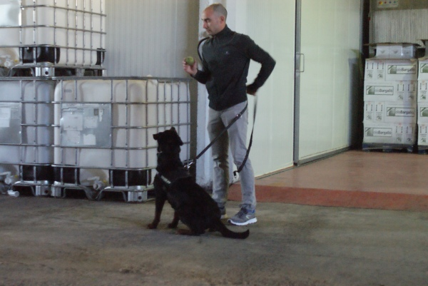 Qui ha dit que els Rottweilers no poden ser bons gossos detectors? Aquí teniu a la gossa de l'Òscar preparada per a l'acció!