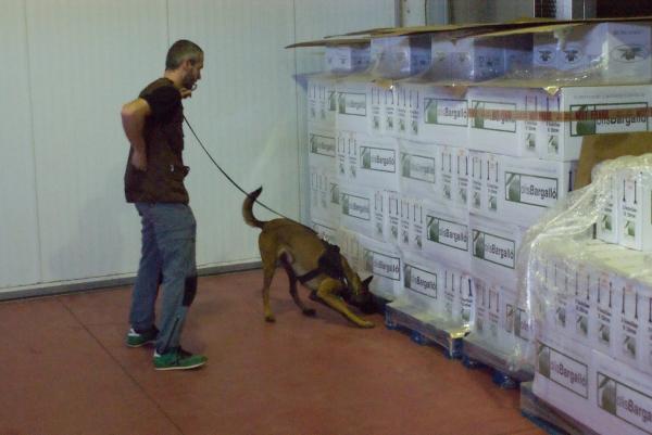 La Indra, la Pastor Belga Malinois detectora de drogues d'en Josep, fent una recerca entre els palets