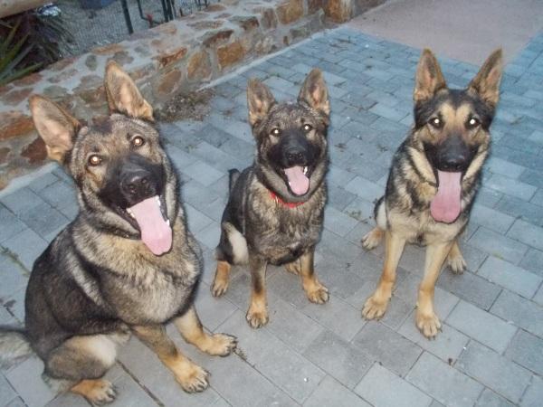 En Connor i la Fura (gossos detectors de drogues) i la Burka (gossa detectora d'explosius) estaven així de tranquils durant l'última pirotècnia futbolera ;)