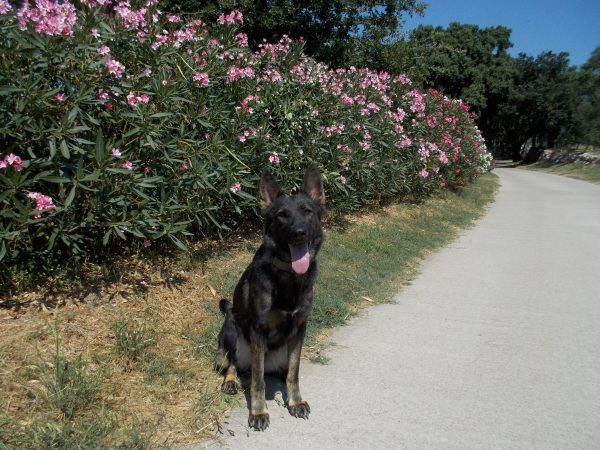 La Mina, gossa detectora explosius, ja està educada per no acostar-se a les Adelfes o Baladres!
