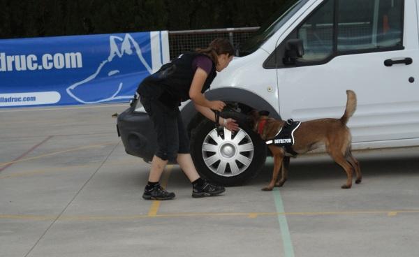 La Cendra, Pastor Belga Malinois, buscant la substància amagada en un cotxe