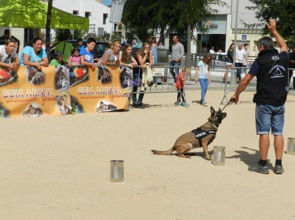 La Cendra, la gossa detectora més veterana de Lladruc, fent una marcació passiva davant de la substància