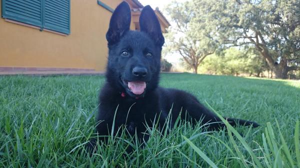 En Bond, futur gos detector de Lladruc, al jardí de casa.