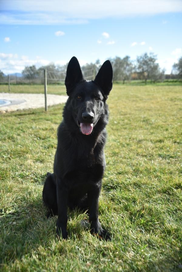 """Bond, Pastor Alemany negre de Lladruc. Un dels gossos que pateixen la """"síndrome del gos negre"""" però què voleu que us digui, per mi és el gos més bonic del món!"""